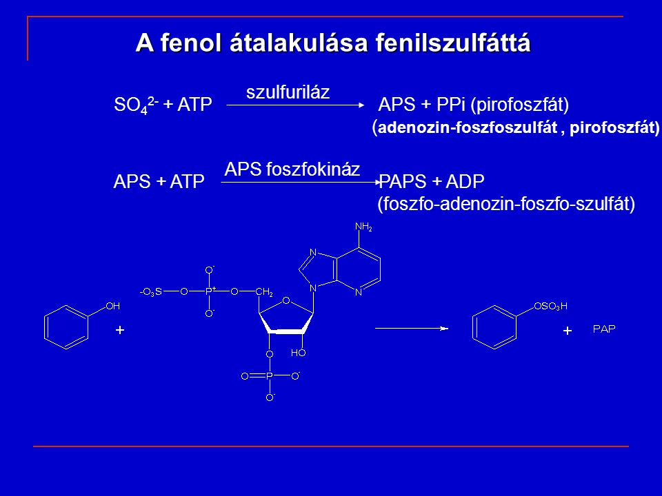 A fenol átalakulása fenilszulfáttá