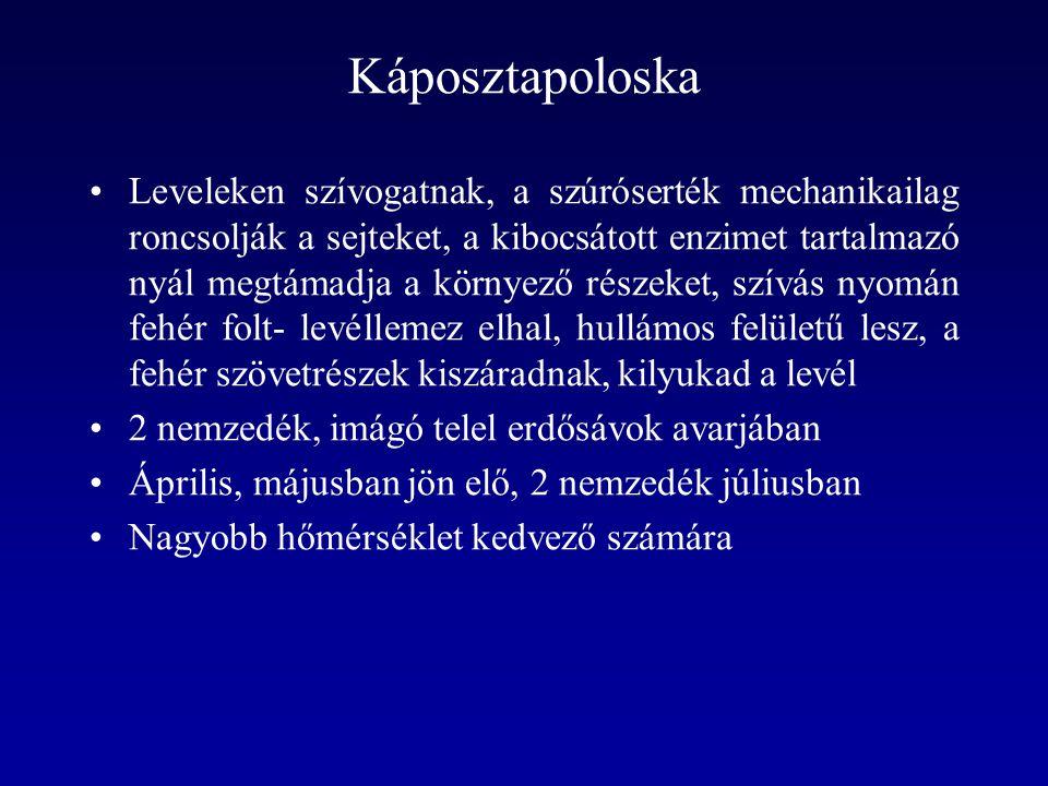 Káposztapoloska