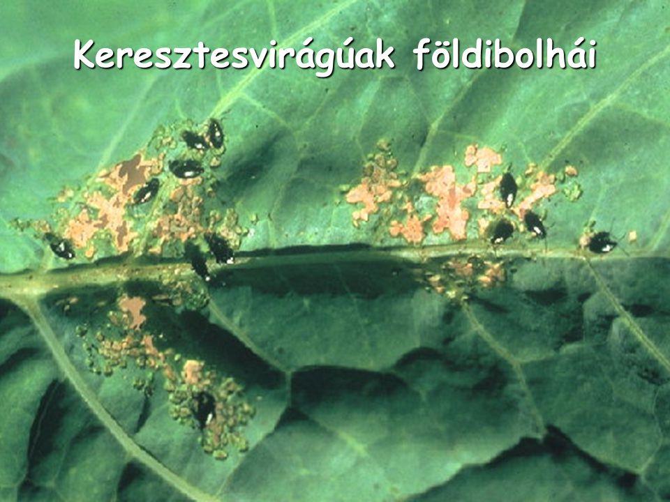 Keresztesvirágúak földibolhái
