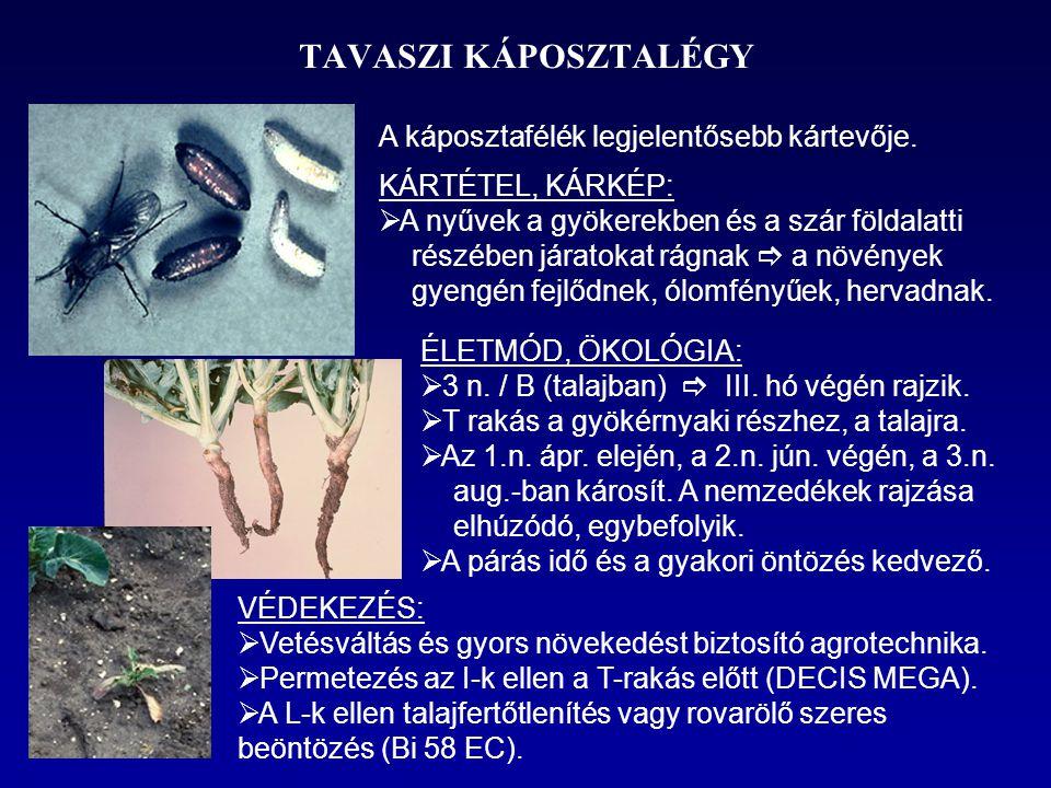 TAVASZI KÁPOSZTALÉGY A káposztafélék legjelentősebb kártevője.