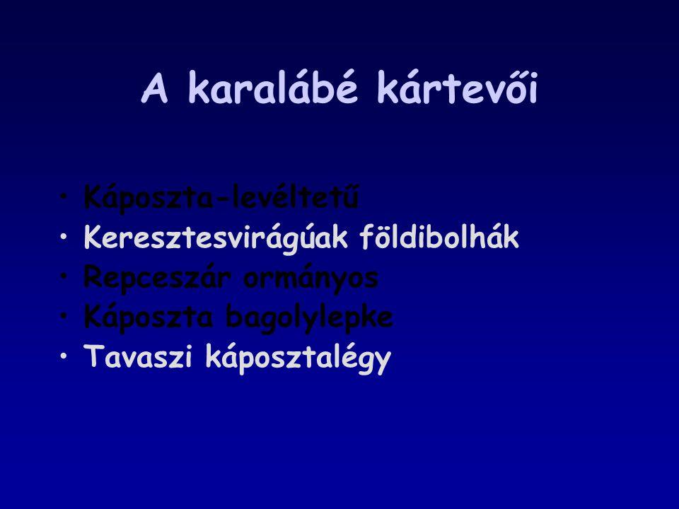 A karalábé kártevői Káposzta-levéltetű Keresztesvirágúak földibolhák