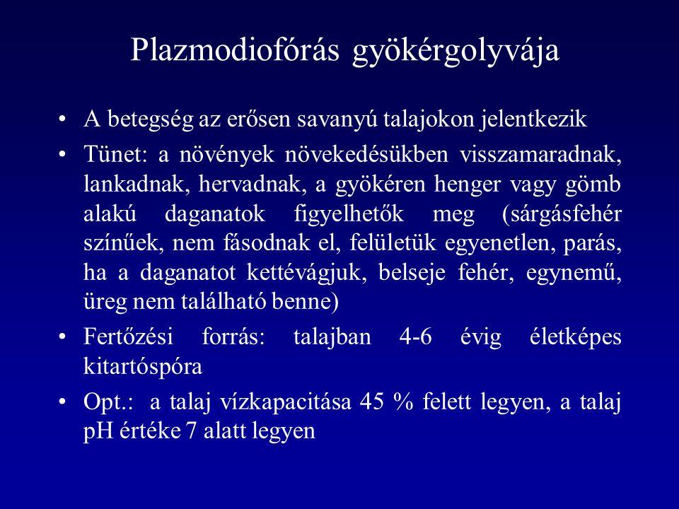 Plazmodiofórás gyökérgolyvája