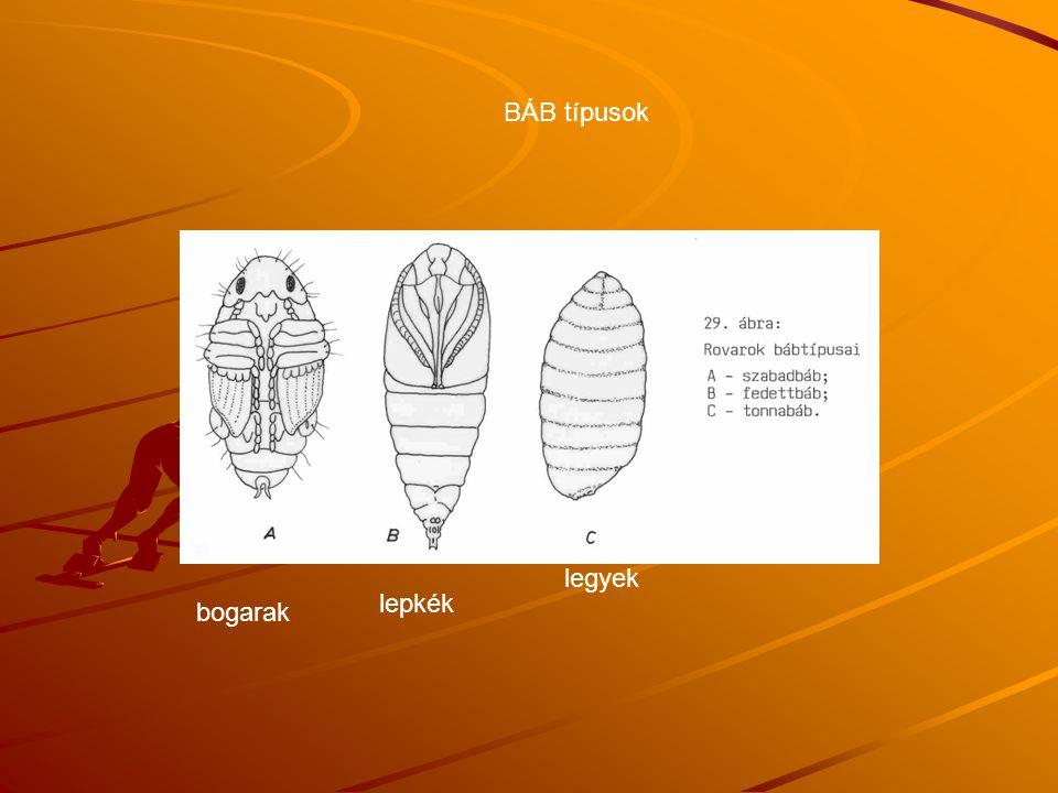 BÁB típusok legyek lepkék bogarak