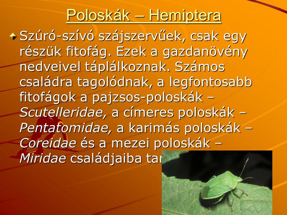 Poloskák – Hemiptera