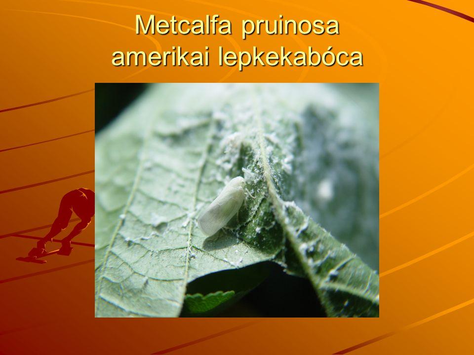 Metcalfa pruinosa amerikai lepkekabóca