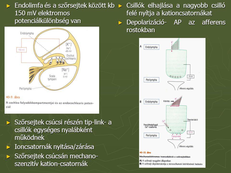 Endolimfa és a szőrsejtek között kb 150 mV elektromos potenciálkülönbség van