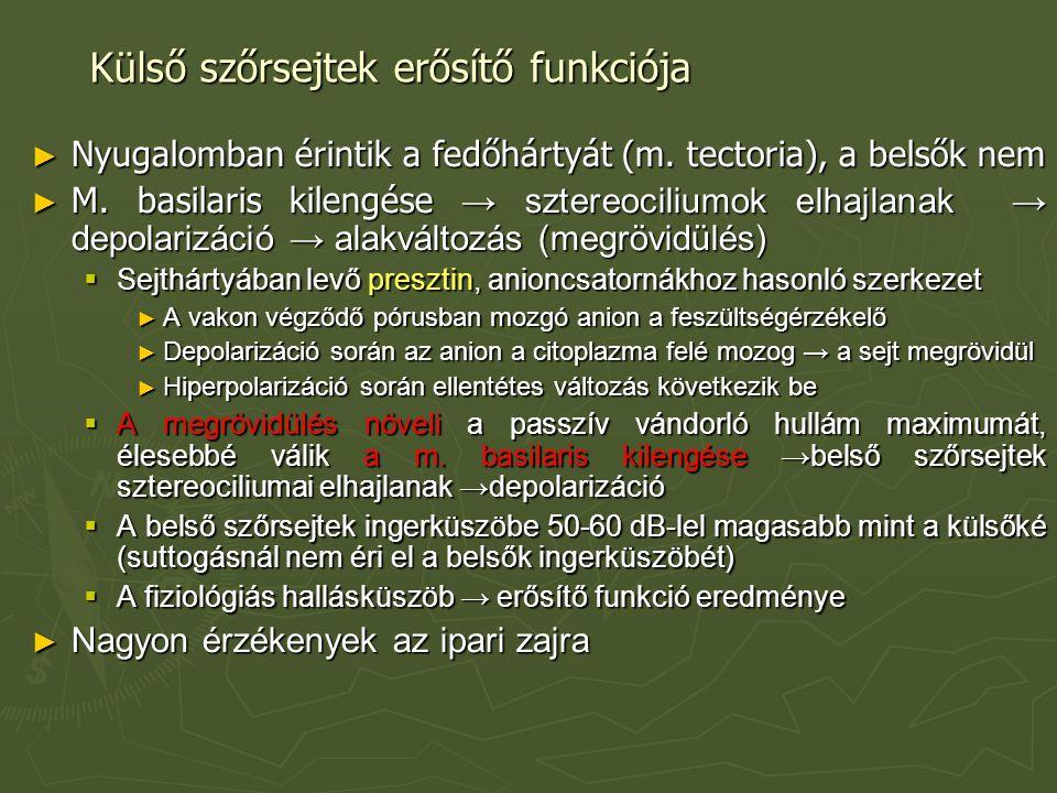 Külső szőrsejtek erősítő funkciója