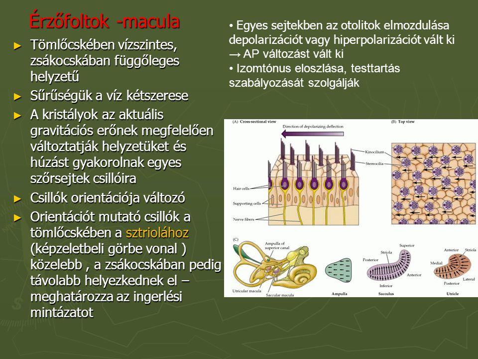 Érzőfoltok -macula Egyes sejtekben az otolitok elmozdulása depolarizációt vagy hiperpolarizációt vált ki → AP változást vált ki.