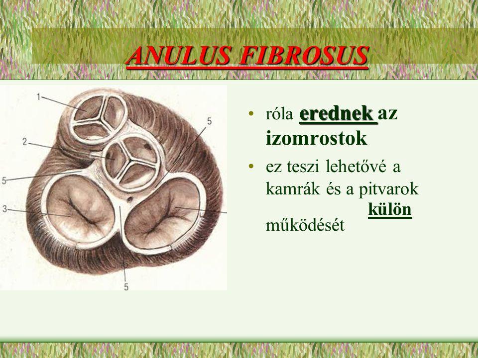 ANULUS FIBROSUS róla erednek az izomrostok