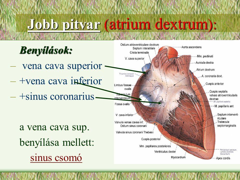 Jobb pitvar (atrium dextrum):