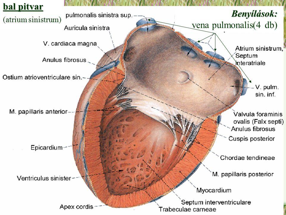 bal pitvar (atrium sinistrum) Benyílások: vena pulmonalis(4 db)
