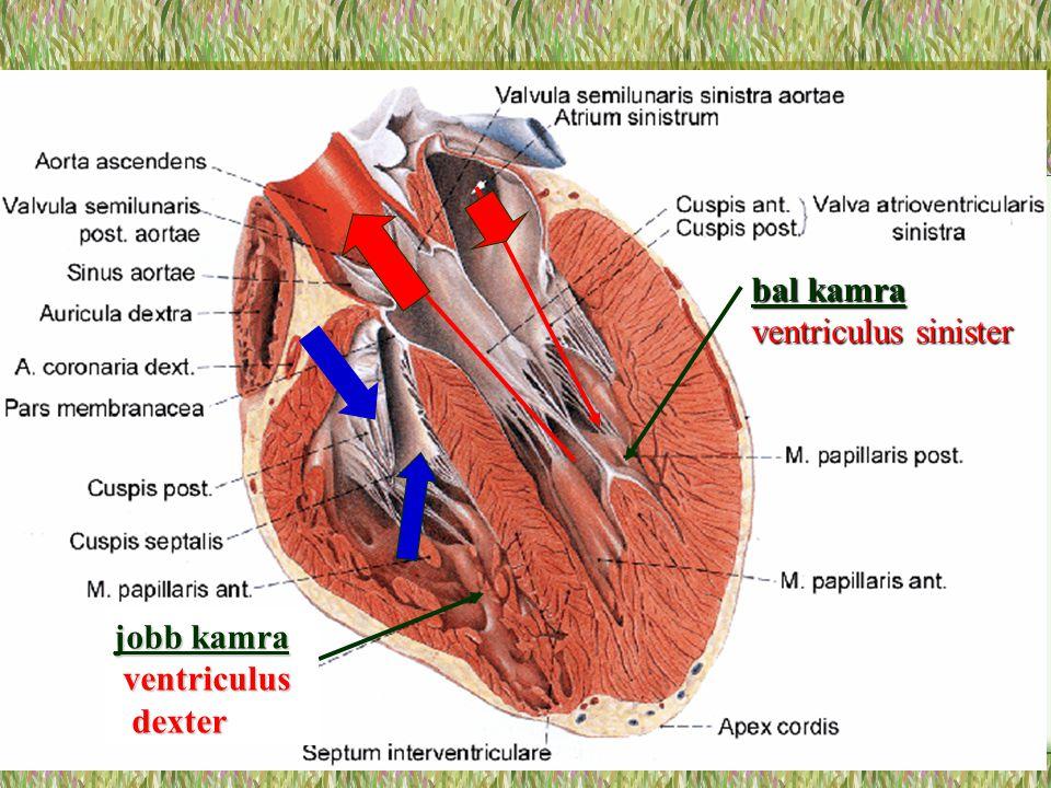 bal kamra ventriculus sinister