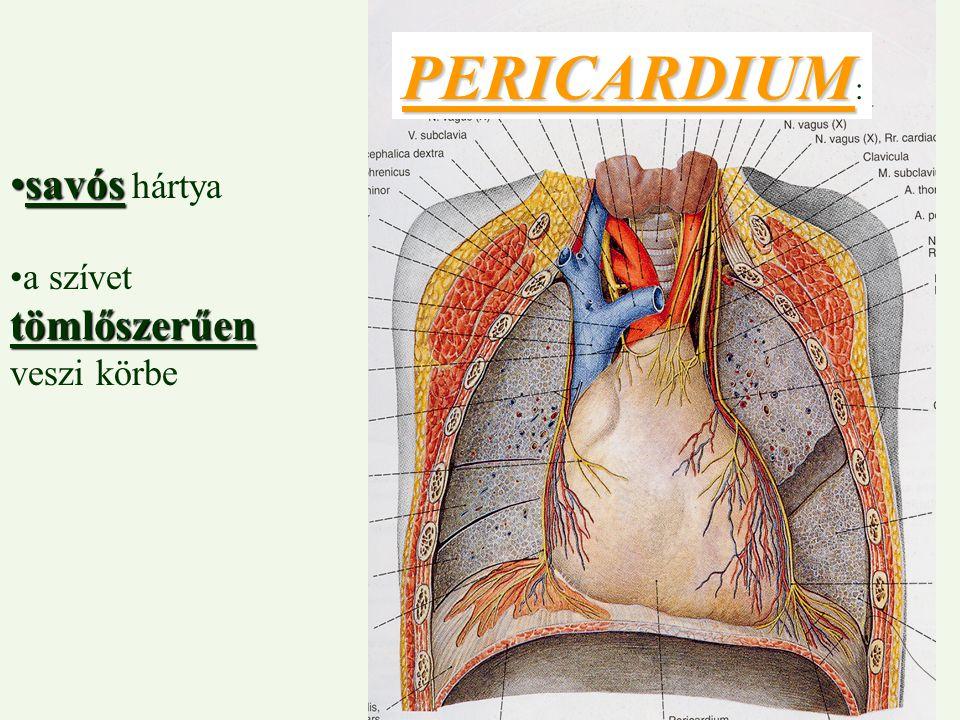 PERICARDIUM: savós hártya a szívet tömlőszerűen veszi körbe