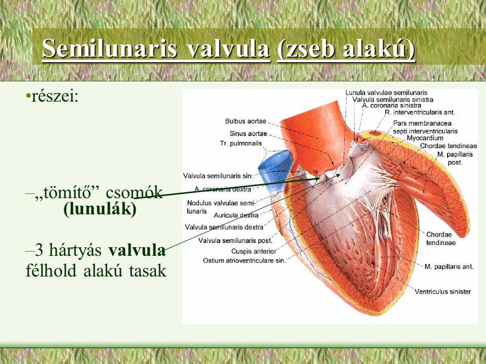 Semilunaris valvula (zseb alakú)