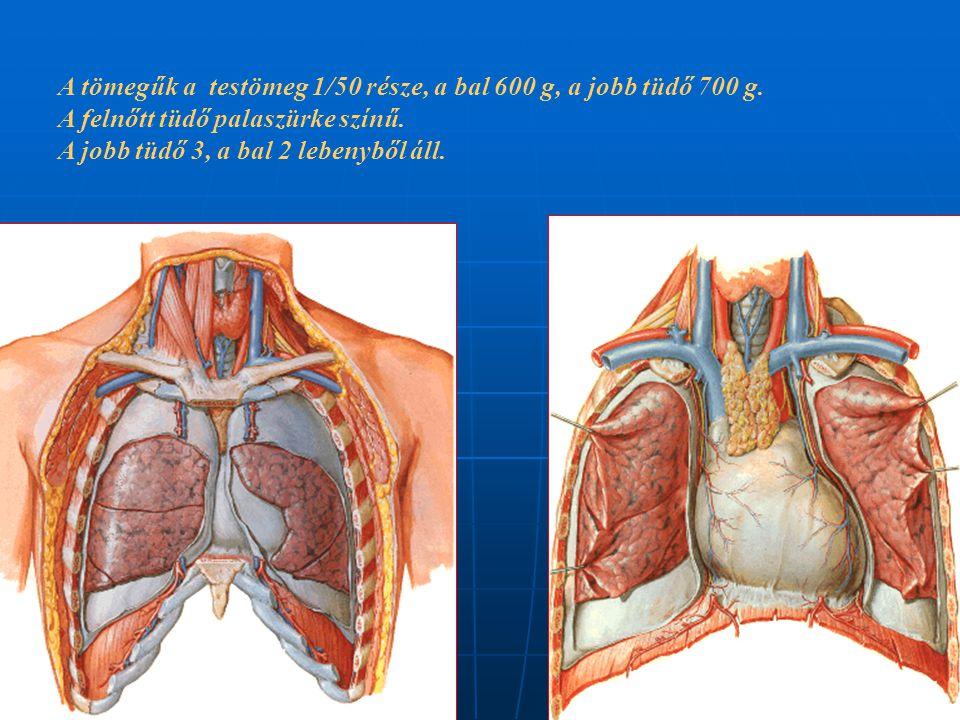 A tömegűk a testömeg 1/50 része, a bal 600 g, a jobb tüdő 700 g.