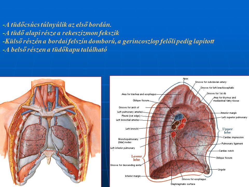 A tüdőcsúcs túlnyúlik az első bordán.