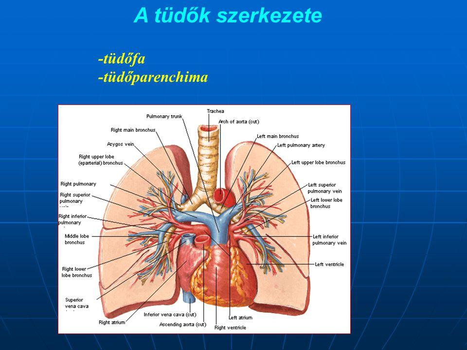 A tüdők szerkezete -tüdőfa -tüdőparenchima