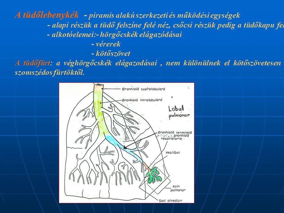 A tüdőlebenykék - piramis alakú szerkezeti és működési egységek