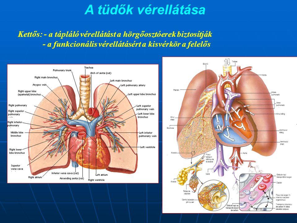 A tüdők vérellátása Kettős: - a tápláló vérellátást a hörgőosztóerek biztosítják.