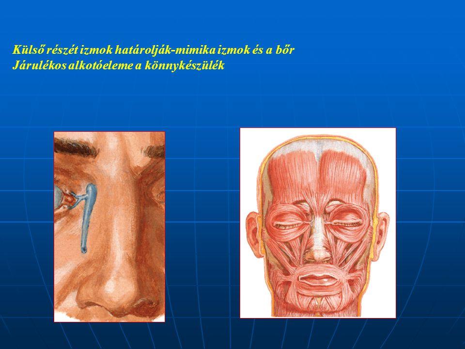 Külső részét izmok határolják-mimika izmok és a bőr
