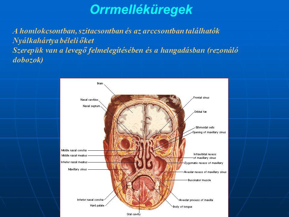 Orrmelléküregek A homlokcsontban, szitacsontban és az arccsontban találhatók. Nyálkahártya béleli őket.