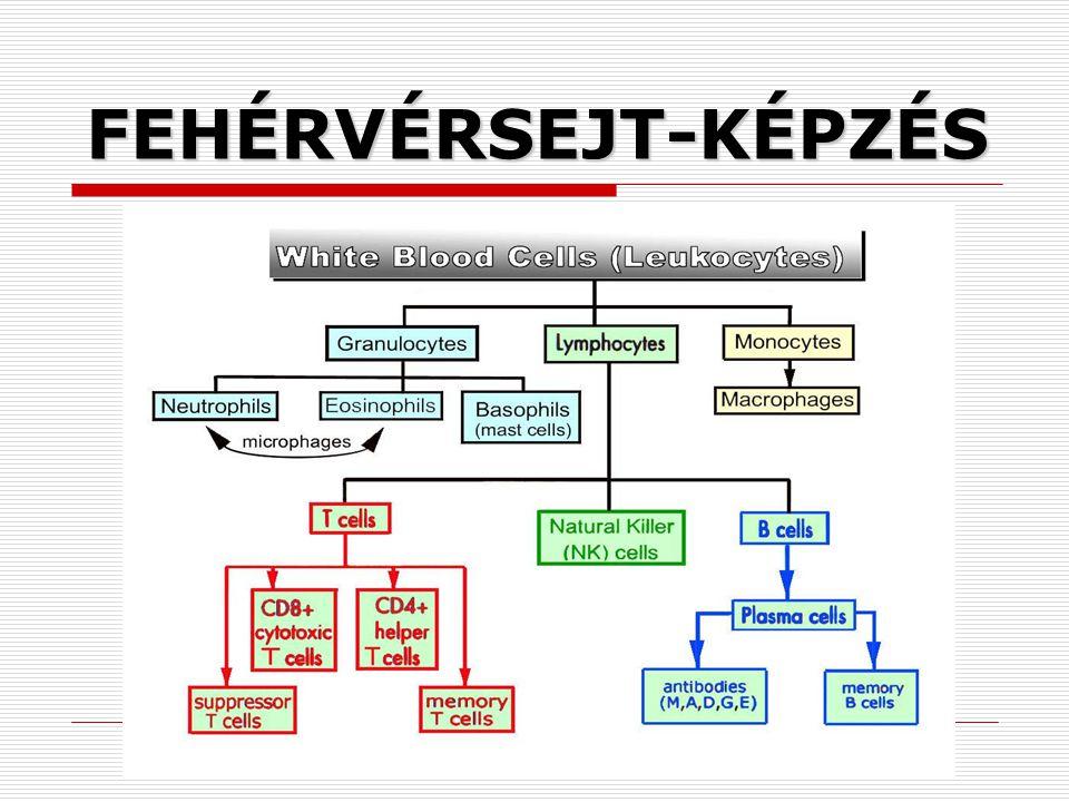 FEHÉRVÉRSEJT-KÉPZÉS