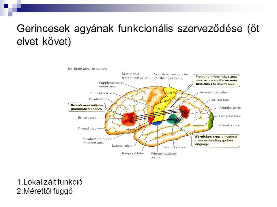 Gerincesek agyának funkcionális szerveződése (öt elvet követ)