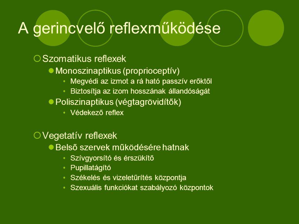 A gerincvelő reflexműködése