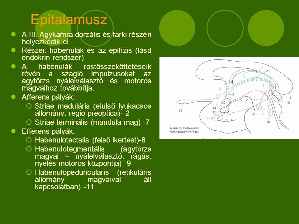 Epitalamusz A III. Agykamra dorzális és farki részén helyezkedik el