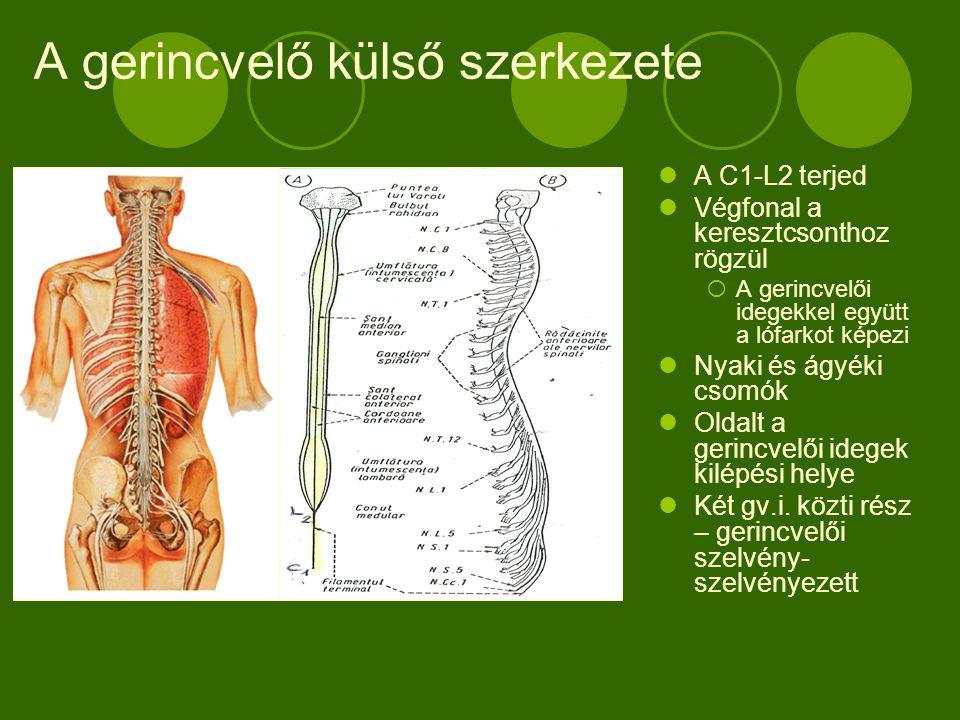 A gerincvelő külső szerkezete