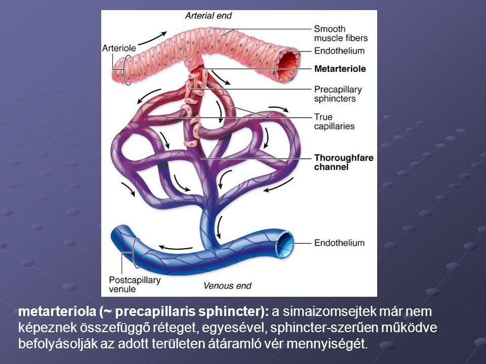 metarteriola (~ precapillaris sphincter): a simaizomsejtek már nem képeznek összefüggő réteget, egyesével, sphincter-szerűen működve befolyásolják az adott területen átáramló vér mennyiségét.