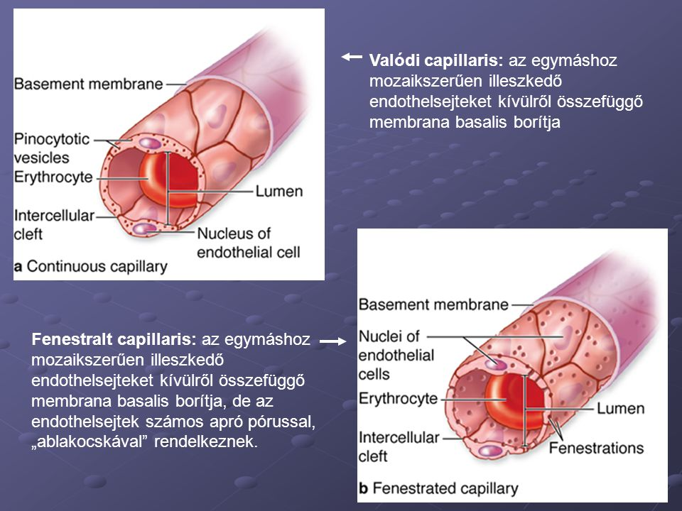Valódi capillaris: az egymáshoz mozaikszerűen illeszkedő endothelsejteket kívülről összefüggő membrana basalis borítja