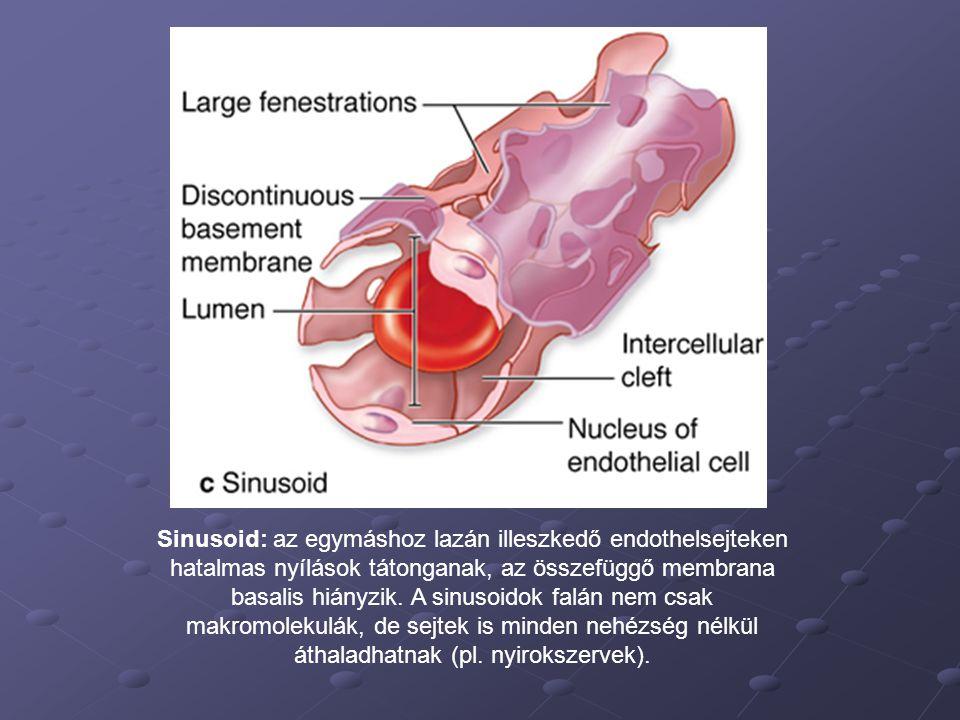 Sinusoid: az egymáshoz lazán illeszkedő endothelsejteken hatalmas nyílások tátonganak, az összefüggő membrana basalis hiányzik.