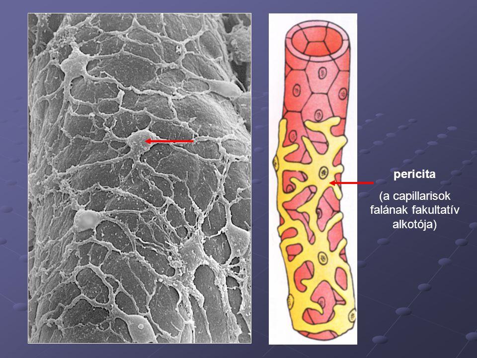 (a capillarisok falának fakultatív alkotója)