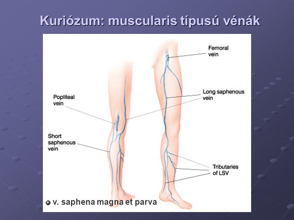 Kuriózum: muscularis típusú vénák v. saphena magna et parva