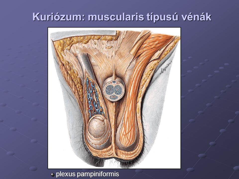 Kuriózum: muscularis típusú vénák