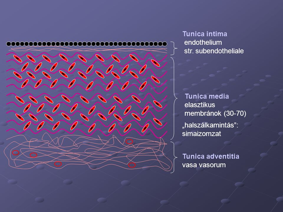 """Tunica intima endothelium. str. subendotheliale. Tunica media. elasztikus membránok (30-70) """"halszálkamintás : simaizomzat."""
