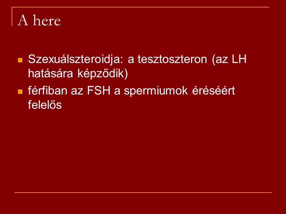 A here Szexuálszteroidja: a tesztoszteron (az LH hatására képződik)