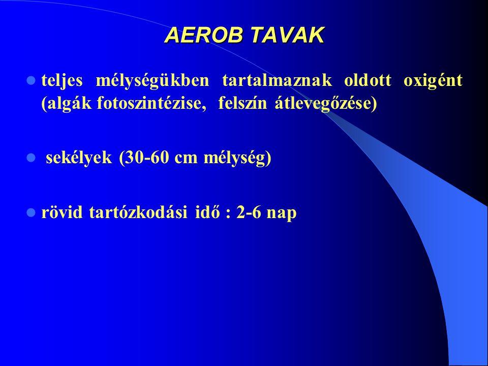 AEROB TAVAK teljes mélységükben tartalmaznak oldott oxigént (algák fotoszintézise, felszín átlevegőzése)