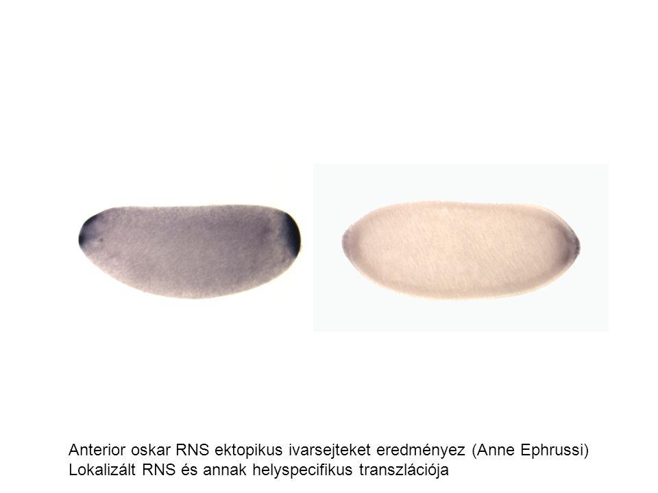 Anterior oskar RNS ektopikus ivarsejteket eredményez (Anne Ephrussi)