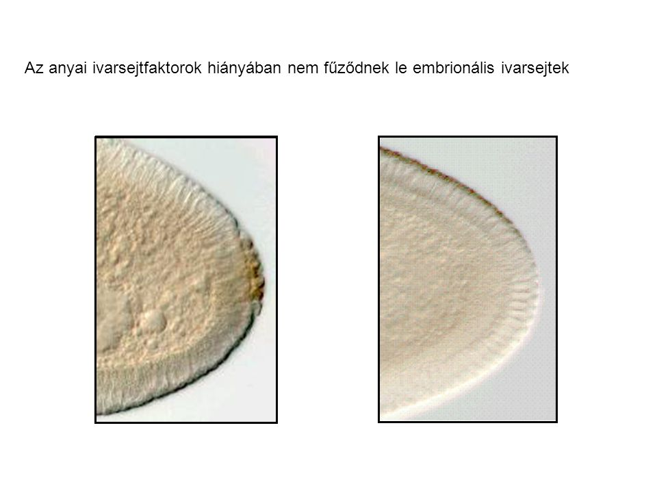 Az anyai ivarsejtfaktorok hiányában nem fűződnek le embrionális ivarsejtek