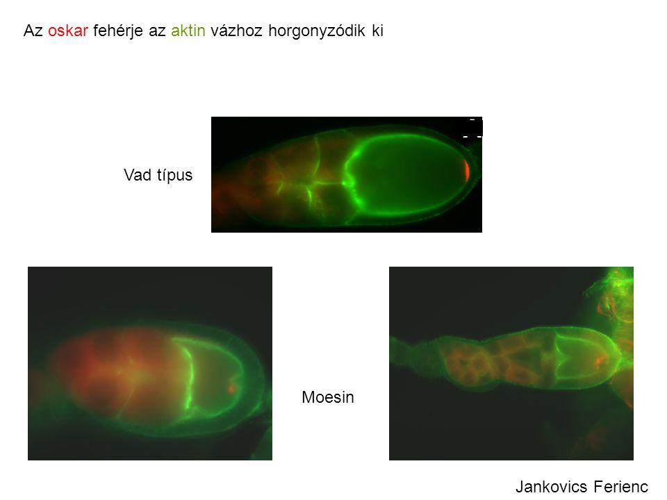 Az oskar fehérje az aktin vázhoz horgonyzódik ki