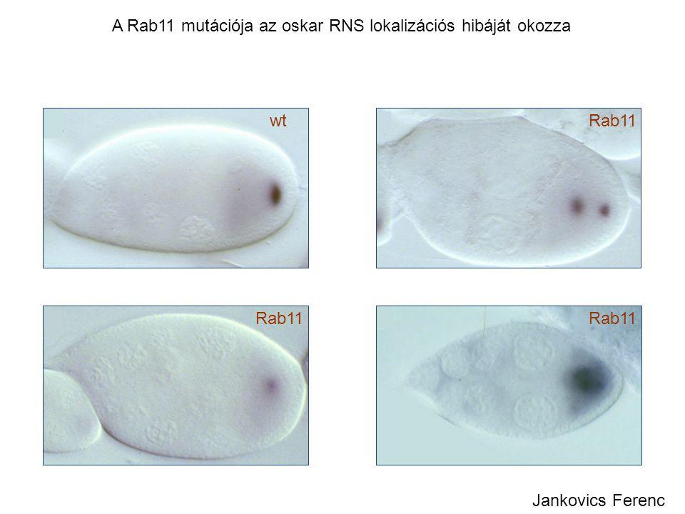 A Rab11 mutációja az oskar RNS lokalizációs hibáját okozza