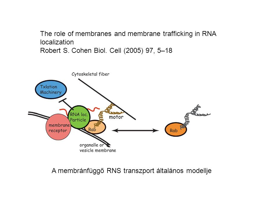 The role of membranes and membrane trafficking in RNA localization