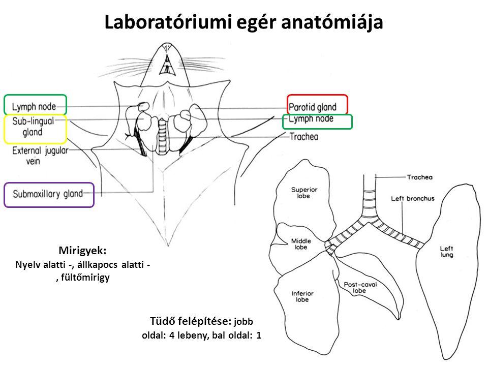 Laboratóriumi egér anatómiája