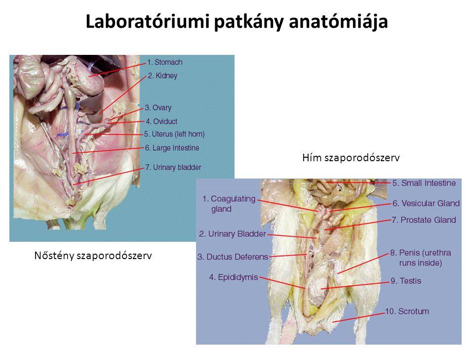 Laboratóriumi patkány anatómiája