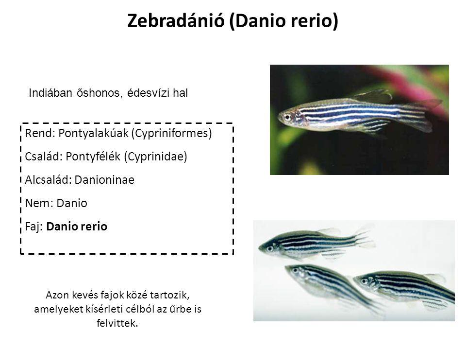 Zebradánió (Danio rerio)