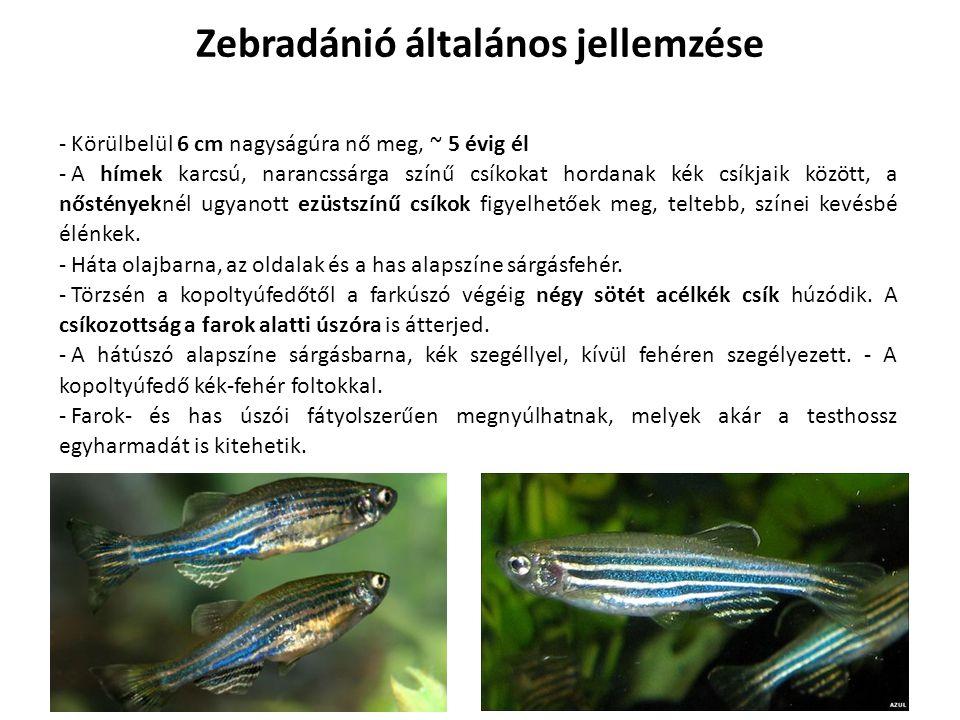 Zebradánió általános jellemzése