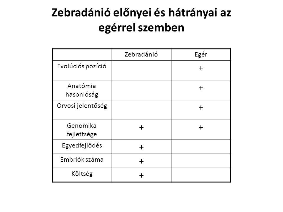 Zebradánió előnyei és hátrányai az egérrel szemben
