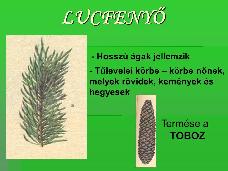 LUCFENYŐ Termése a TOBOZ - Hosszú ágak jellemzik